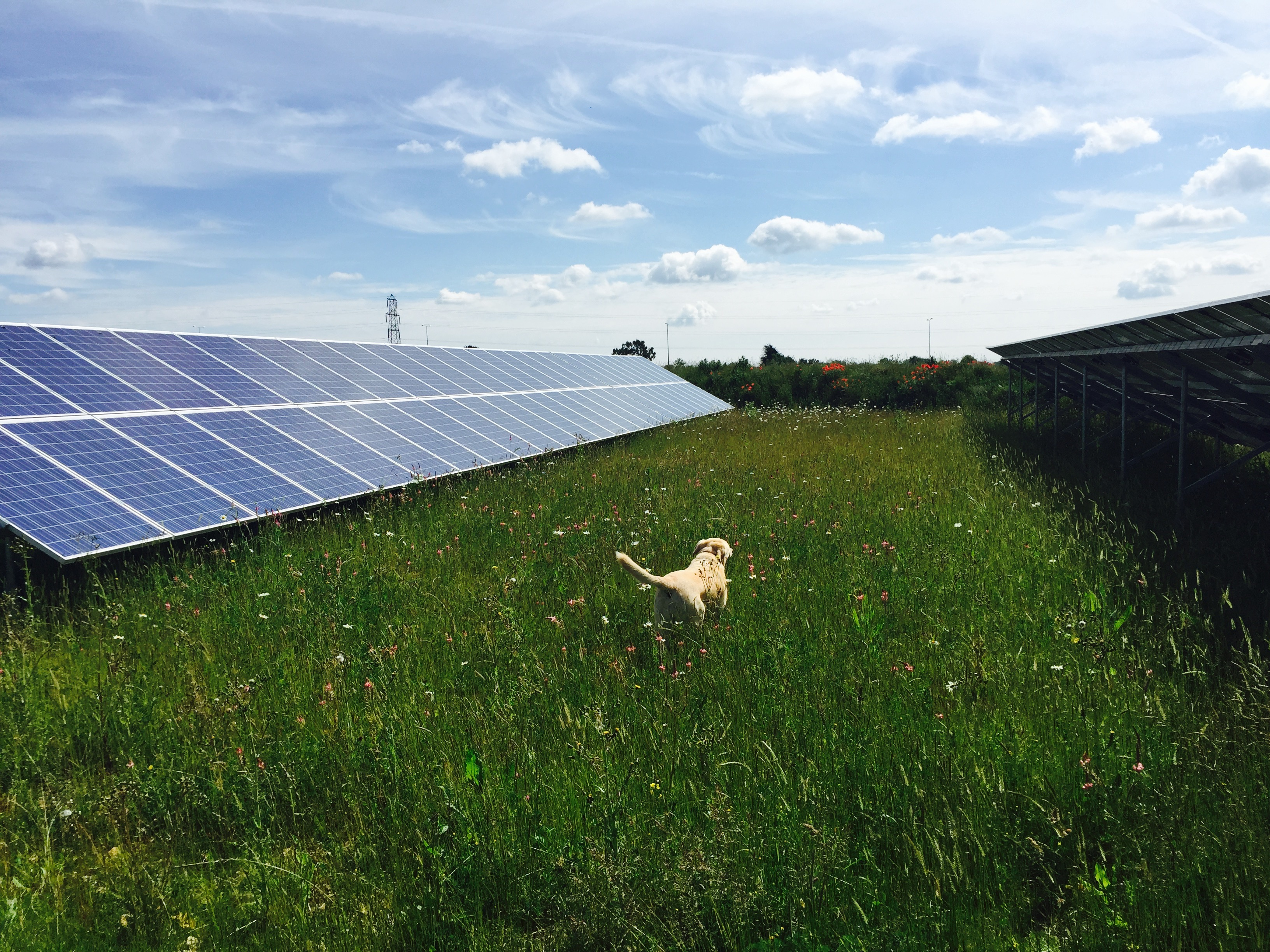 polly-the-lab-at-solar-install